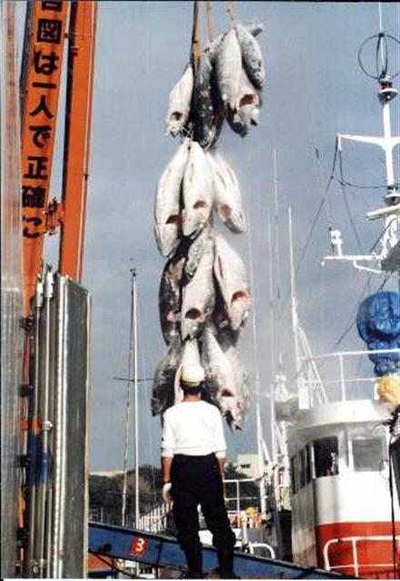 神奈川県三浦三崎港:大迫力の水揚げ風景